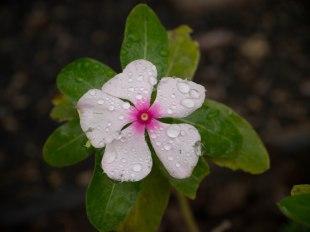 Rain troops on a flower in Kihei, Maui
