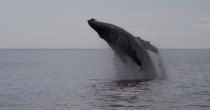 Jumping mother whale