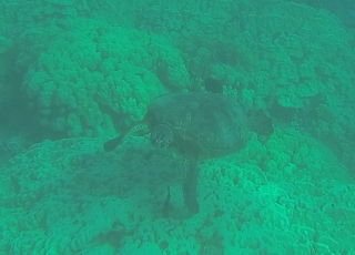 Green Sea turtles in action