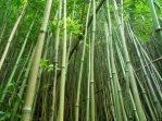 Bambus forest