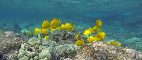 A lot of yellow fishes