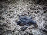 turtle hatching in Montezuma