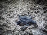 turtle hatching in Montezuma