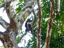 Monkey chilling in a Mango tree