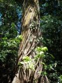 Cabo Blanco tree