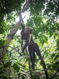 Monkey in Cabo Blanco National Park