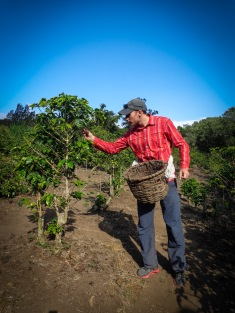 Ok so that's how the coffee picking works