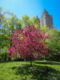Wow Central Park is so amazing with the blooming trees