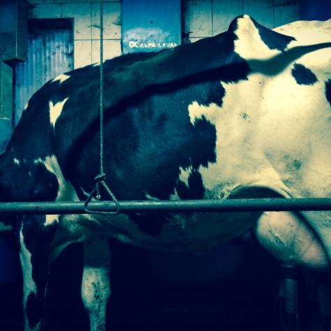 Huge milk cow